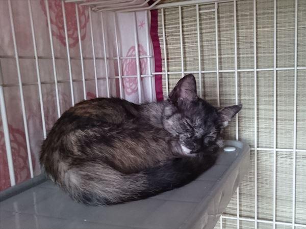 サビ猫サラシア保護子猫