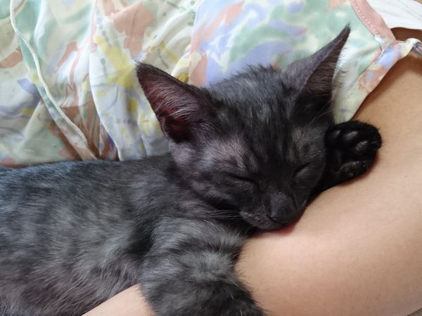 里親募集子猫ブラックスモークルイボス君