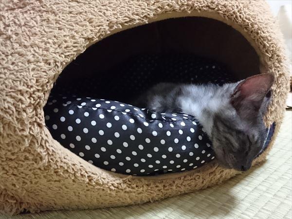東海地方(愛知三重岐阜)犬猫保護ボラグループアニサポ里親募集保護猫ルイボス