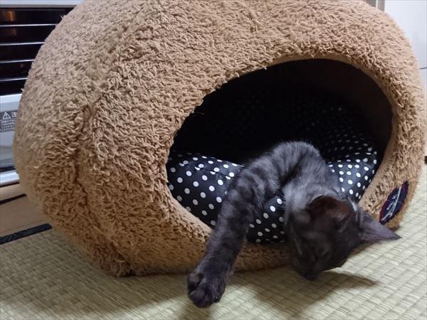 東海地方(愛知三重岐阜)犬猫保護ボラグループアニサポ里親募集保護子猫ルイボス