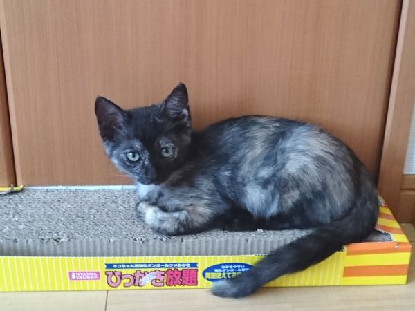慎重派のサビ猫サラシアちゃん、やっと子猫らしく・・・