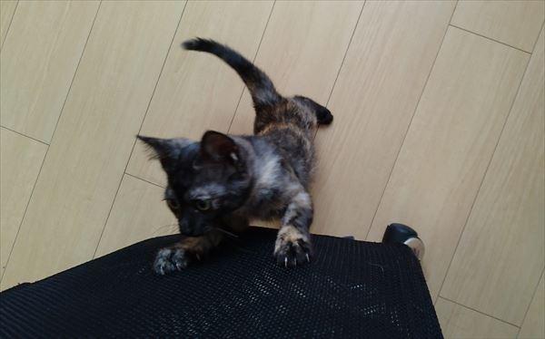 遊びに誘うサビ子猫サラシア