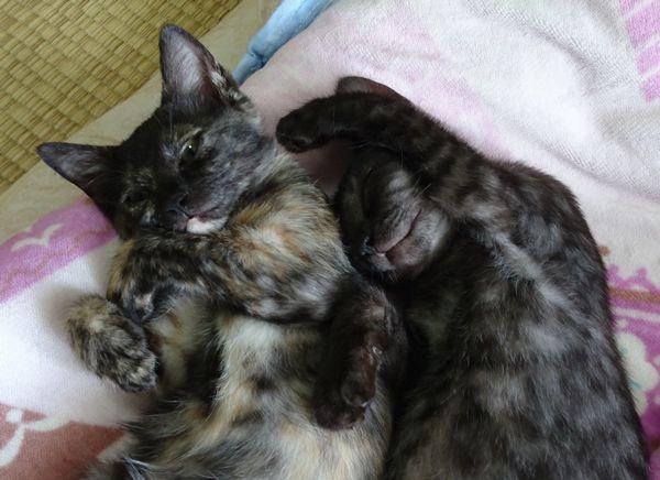 東海地方(愛知三重岐阜)犬猫保護ボラグループアニサポ里親募集保護猫サビ猫スモーク猫