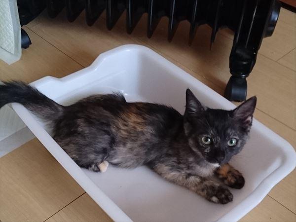 サビ猫の子猫