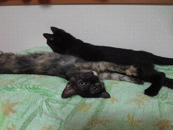 サビ猫サラシア