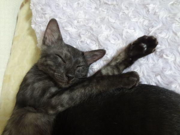 スモーク猫ルイボス君