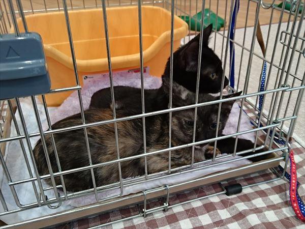 サビ猫サラシア膝猫