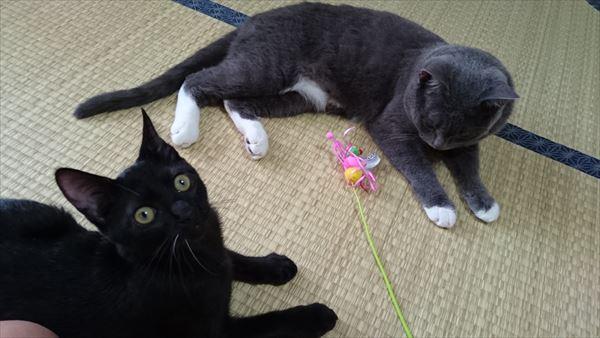 子猫の遊び盛り真っ只中の黒猫ノニ君、今日も元気♪