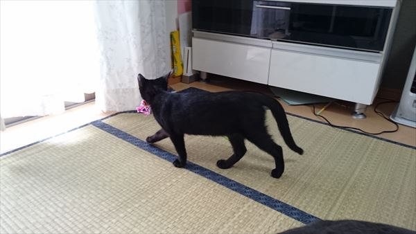 おもちゃを咥えて運ぶ子猫