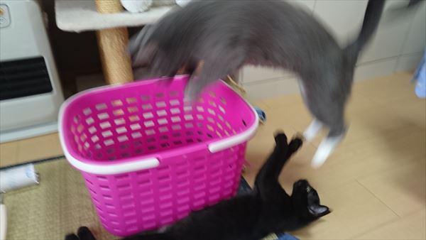 洗濯籠に入る猫