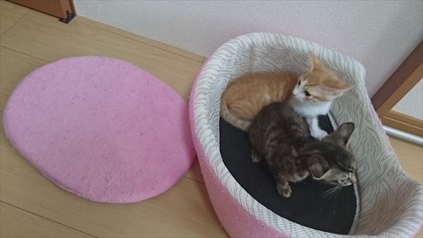 ペット用ベッドでくつろぐ子猫