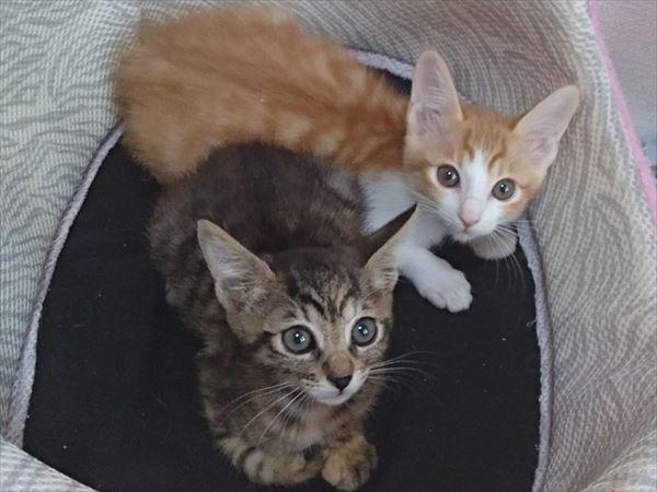 新規預かり猫タビー兄妹、やっぱりキャットタワーが好き