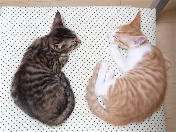 すやすや眠る子猫兄弟