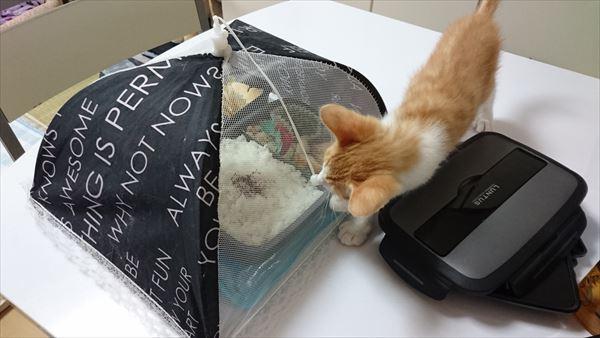 お弁当を狙う子猫