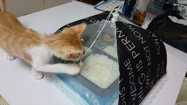 お弁当を狙う子猫2