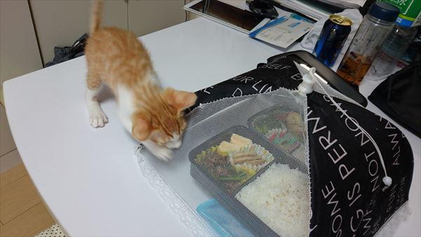 お弁当を狙う子猫4