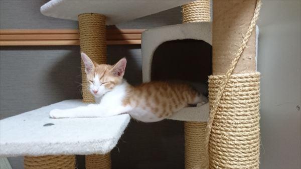 キャットタワーで寝る子猫