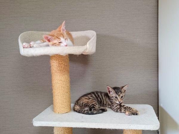 アニサポ保護猫ひまわり隊キャットタワーで寛ぐ子猫兄妹