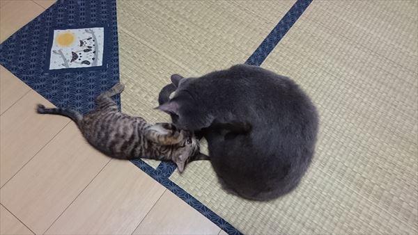 尻尾にじゃれる子猫