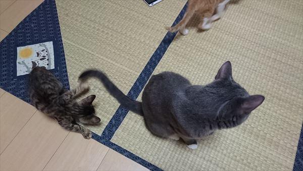 アニサポ預かり猫クラレットとトム
