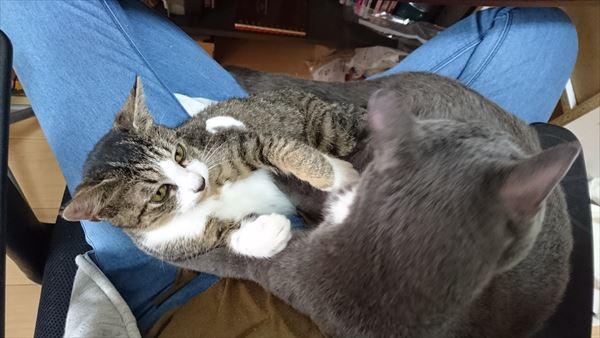 膝の上でケンカする猫たち