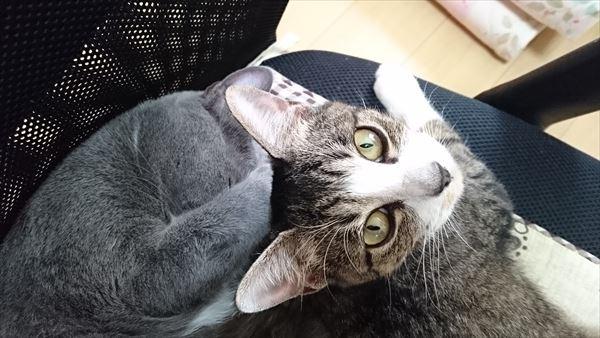 猫の模様は面白い!はあとの黒ゴマ点々