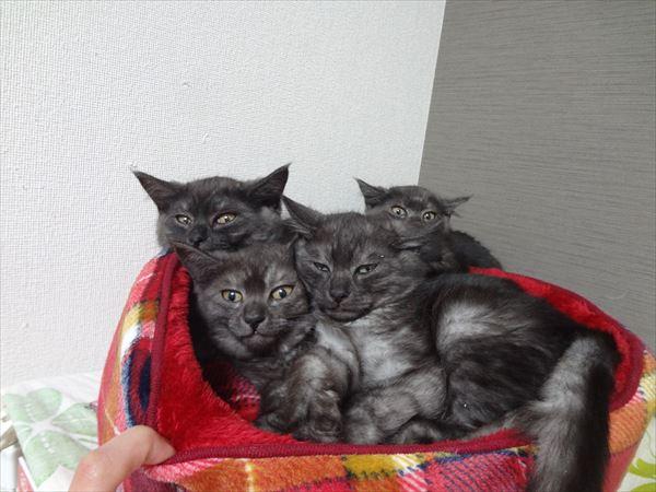 スモーク子猫4兄妹やってきてます!今しばらく家猫修行
