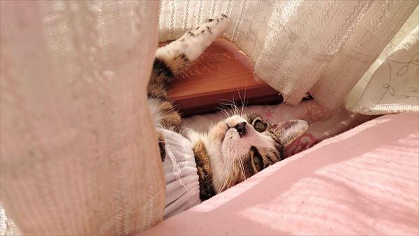 キジ白少女猫はあと避妊手術後
