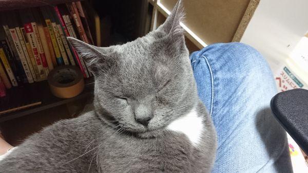 グレー白オレ様猫トム