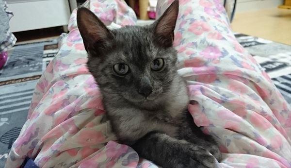 神秘的な毛色ブラックスモークのひかるん、洋猫感が満載♪
