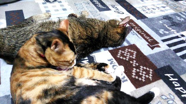 猫の里親になるときは慎重に!不幸な猫を増やさないために