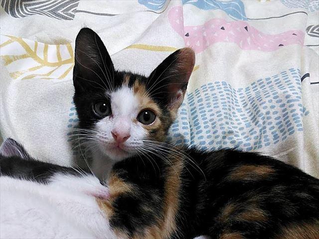 子猫の結膜炎は油断できない!三毛のシャーロットお目目しょぼしょぼ中