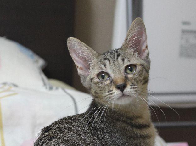 三姉妹プラス1の子猫たち、一番印象が変わったのはキジトラのさよりちゃんだった!