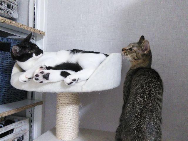 長い尻尾が気になるさよりちゃん、姉妹猫キャットタワーで遊ぶ