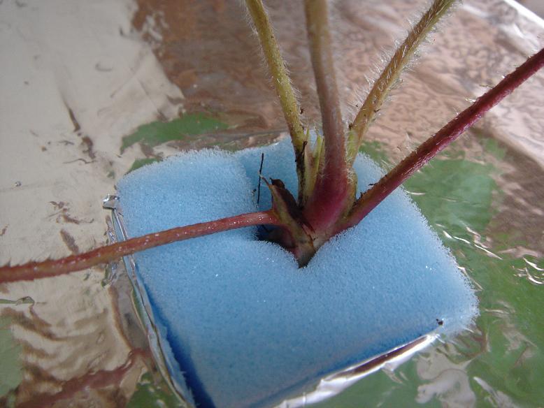 イチゴ水耕栽培3