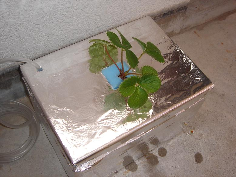 イチゴ水耕栽培4