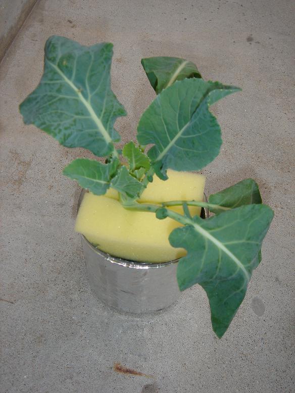カリフラワーの水耕栽培