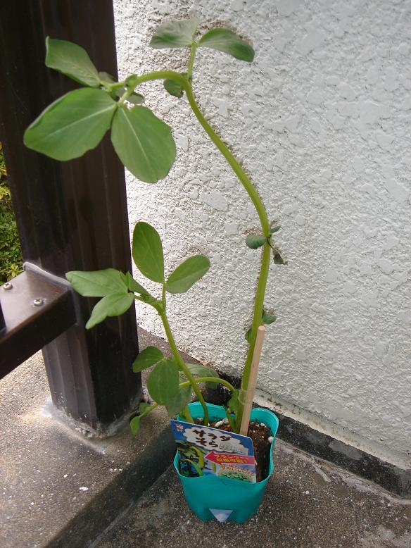 そら豆の水耕栽培