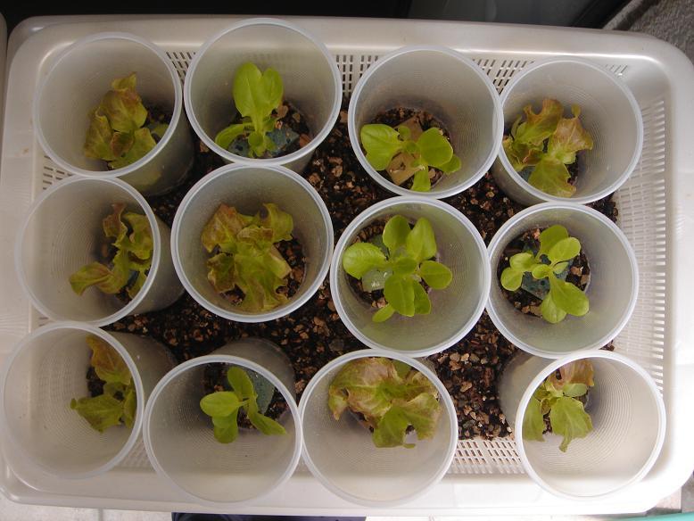 サラダ菜水耕栽培