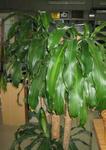 ドラセナの鉢植え・剪定後