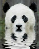 animal-picture-panda-bear-ucumari.jpg