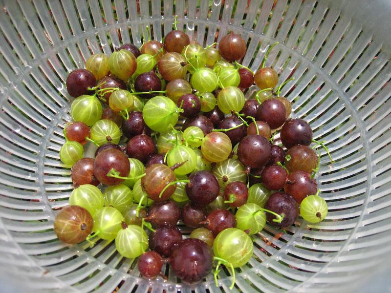 blog20120701_gooseberry_IMG_4647_mini800px.jpg