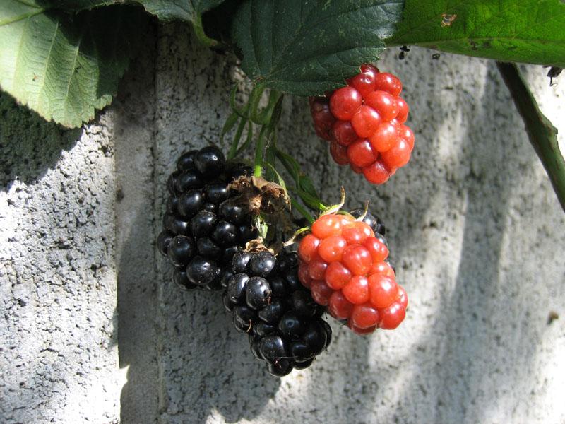 blog20120715_blackberry_IMG_4953_mini800px.jpg