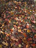 地面の紅葉