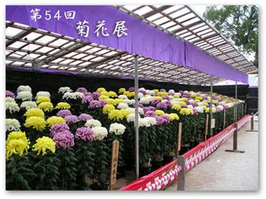 太宰府の菊花展