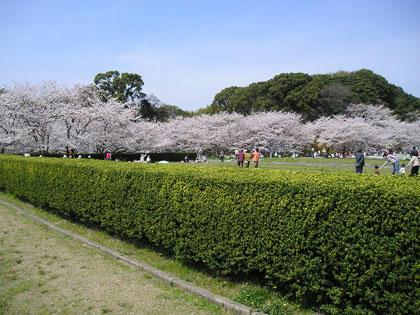 都府楼の桜