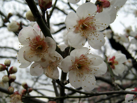 太宰府の梅の開花情報