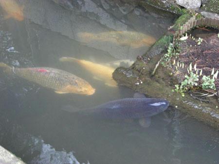 津和野の水路の鯉