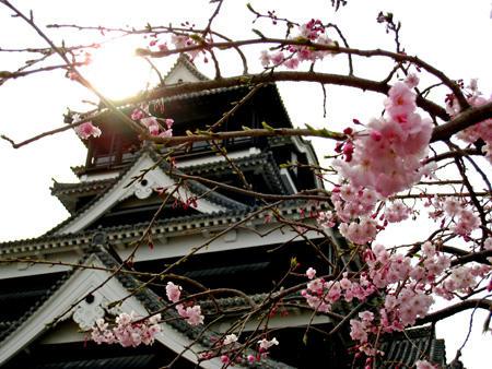 熊本城と八重桜?