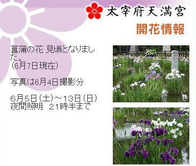 太宰府天満宮の菖蒲の花